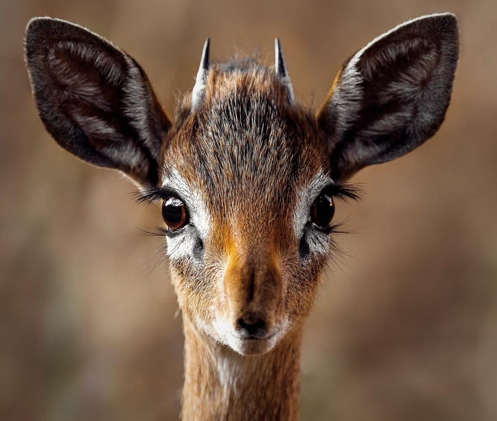 Close up van een antilope